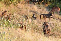 Baboon Friends